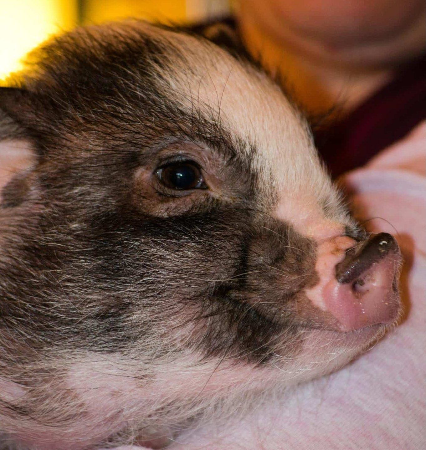 A Pig Rescue Story – Apple Hill Farm NC