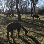 Alpacas grazing in the orchard before a BIG DAY