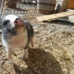 Pig rescue of Mr. Pickles.